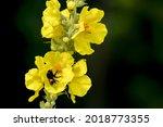 Bumblebee And Verbascum...