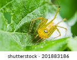 Yellow Lynx Spider With Nest O...