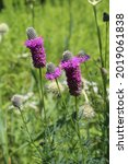 Purple Prairie Clover In Bright ...