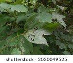 On The Bush Of Viburnum...