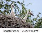 Two White Stork Ciconia...