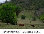 Cows Eat In A Field  San Luis...