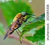 Pale Giant Horse Fly Outdoor ...