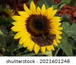 Blooming Sunflower With A...