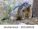 Marmot Close Up