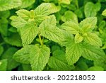 A Detail Of Lemon Balm In The...