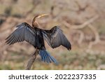 A beautiful Oriental darter (Anhinga melanogaster) sitting on a tree branch with open wings in a blurred background at Keoladeo National Park, Bharatpur, Rajasthan, India