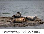 Harbor Seals Trio Hauling On...