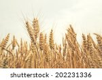 wheat ears in the field.... | Shutterstock . vector #202231336