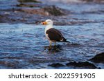 A Pacific Gull At Monforts...
