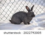 Silver Rabbit Breed Standing In ...