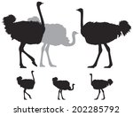 Ostrich Group  A Large...