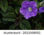 Purple mexican petunia...