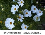 Close Up View Of Cosmos Flower  ...