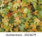 fallen maple leaves | Shutterstock . vector #2023679