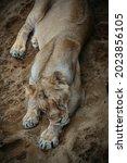 A Full Length Lioness Sleeps...