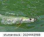 Closeup Of A Tarpon Fish ...