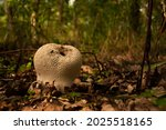 Common Puffball Mushroom Close...