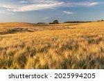 Field Of Barley In Evening...