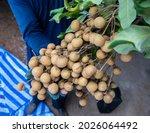 Gardener Holding Longan Fruit...