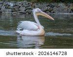 Close Up Shot Of A Pelican In ...