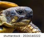 Small photo of Portrait Hermann's tortoise (Testudo hermanni)