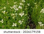 Summer Flowering White Flower...