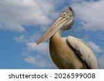 Spot Billed Pelican Up Close...