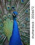 peacock | Shutterstock . vector #2026672
