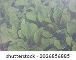 Lush Green Lettuce Growing In...