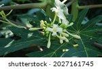 Papaya Flower  Papaya Buds And...