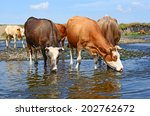 cows on a watering place | Shutterstock . vector #202762672