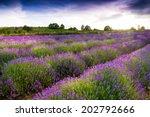 lavender field  | Shutterstock . vector #202792666