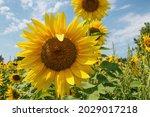Michigan Yellow Sunflower Field ...