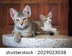 Half Breed Kitten Of Persian...
