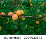 cherry plum fruits on branch... | Shutterstock . vector #2029023578