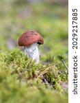 Boletus Mushroom Growing In...
