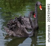 Two Black Swans On The Surface...