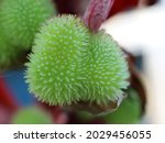 A Close Up Of Green Seedpods On ...