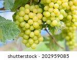 vineyards   Shutterstock . vector #202959085