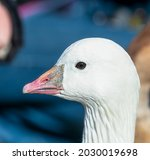 Close Up Of The Ross's Goose...