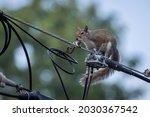 Eastern Gray Squirrel...