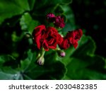 Terry Red Geranium In The...