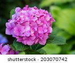 Pink Hydrangea Flower In The...
