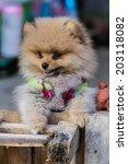 Small photo of Pomeranian garb
