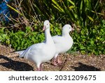 Pair Of Ross's Geese Standing...