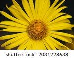 Close Up Yellow Doronicum Or...