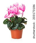 Pink Flowerpot Isolated On The...