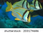 Porkfish grunt (Anisotremus virginicus) in the tropical waters of the caribbean sea  - stock photo