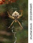 Spider Web With Argiope Lobata  ...
